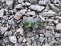 Delphinium glareosum (Rockslide Larkspur) - Flickr - brewbooks (3).jpg