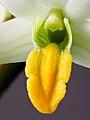 Dendrobium scabrilingue (25442160807).jpg