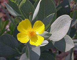 Dendromecon harfordii flower and leaves 2003-07-09