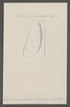 Dentalium pseudosexagonum - - Print - Iconographia Zoologica - Special Collections University of Amsterdam - UBAINV0274 081 10 0030.tif