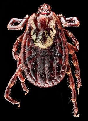 Dermacentor variabilis - Image: Dermacentor variabilis, U, Back, MD, Beltsville 2013 07 08 19.15.11 ZS P Max