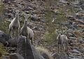 Desert Bighorn Sheep (Ovis canadensis nelsoni) (2275683247).jpg