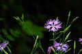 Dianthus superbus 070708.jpg