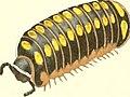 Die Myriapoden - getreu nach der Natur abgebildet und beschrieben (1863) (20924565372).jpg