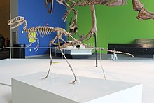 Dilong skeleton mount at TyrannosaursMeettheFamily.jpg