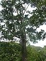 Diospyros Atrata Jardin botanique de Peradeniya Kandy.JPG