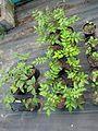 Dipelta floribunda ^ Zanthoxylum planispinum - Flickr - peganum.jpg