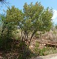 Dodonaea viscosa var angustifolia, habitus, Schanskop.jpg