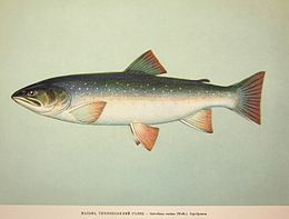 Dolly Varden Salvelinus malma 1957.jpg