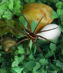 Fishing spider size - photo#35