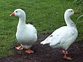 Domestic Geese in Damerham - geograph.org.uk - 448189.jpg
