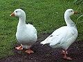 Domestic Geese in Damerham - geograph.org.uk - 448189.jpg