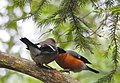 Domherre Eurasian Bullfinch (20350733045).jpg