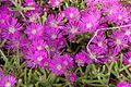 Drosanthemum speciosum.jpg