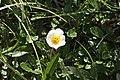 Dryas octopetala, Susanfe - img 26730.jpg