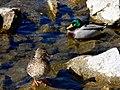 Ducks! (420830626).jpg