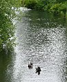 Ducks on the millpond - geograph.org.uk - 855354.jpg