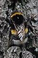Duisburg 08.05.2017 Buff-tailed Bumblebee - Bombus terrestris (34776106996).jpg