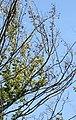 Dutch elm disease.jpg