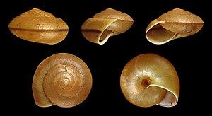 Dyakiidae - Five views of a shell of Dyakia salangana