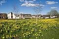 Dyce daffodils III - geograph.org.uk - 1247215.jpg