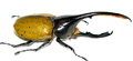 Dynastes hercules.lichyi 2 (modified).png