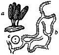 EB1911 Mycetozoa - Arcyria punicea.jpg