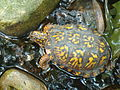 Eastern Box Turtle Pond.JPG