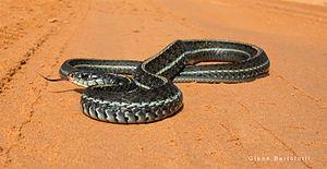 Eastern garter snake - Florida eastern garter snake (Thamnophis sirtalis sirtalis)
