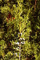 Eastern Redcedar Juniperus virginiana 'Corcorcor' Sprig 2000px.jpg
