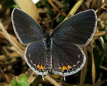 Eastern Tailed-blue, female, FWG.jpg