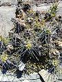 Echinocereus pentalophus (5761500521).jpg