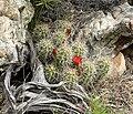 Echinocereus triglochidiatus 20.jpg
