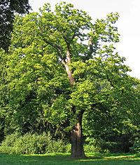 Baum Pflanze Wikiquote