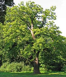 Edelkastanie (Castanea sativa) 1.jpg