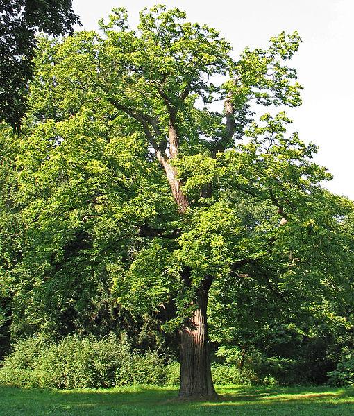 arbre le châtaignier