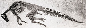 Edmontosaurus regalis - Holotype skeleton of Thespesius edmontoni, now thought to be a young E. regalis