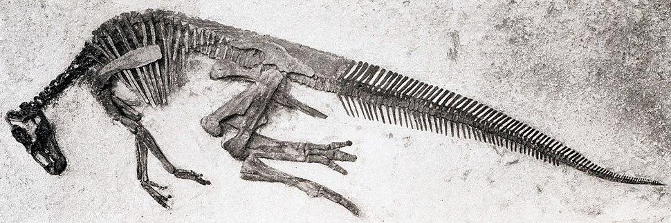 Edmontosaurus annectens specimen