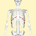 Eighth rib frontal2.png