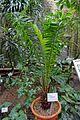 Elaeis guineensis - Flora park - Cologne, Germany - DSC00727.jpg