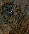 Elephant eye (5465720413).jpg