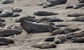 Elephant seals at Ano Nuevo (91674).jpg