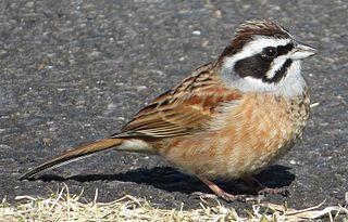 Meadow bunting species of bird