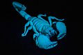 Emperor Scorpion Under UV Light.jpg