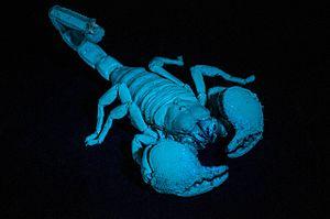 Emperor scorpion - Emperor scorpions fluoresce under UV light.