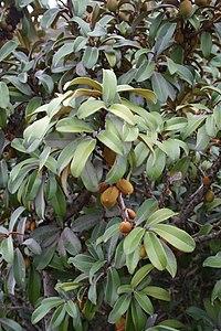 Englerophytum magalismontanum IMG 3202