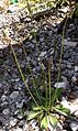 English Plantain (Plantago lanceolata) - Flickr - Jay Sturner.jpg