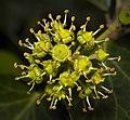 English ivy (30506456647).jpg