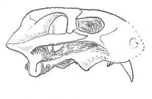 Eodicynodon - Illustration of the skull