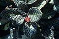 Episcia cupreata2 WPC.jpg